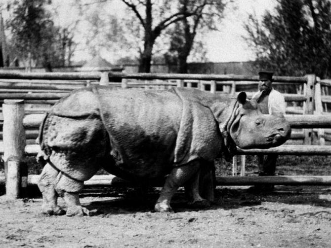 Панцирный носорог